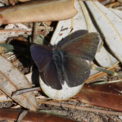 Unidentified Butterfly (TBC) at Guerilla Bay, NSW - 2 Aug 2020 by jbromilow50