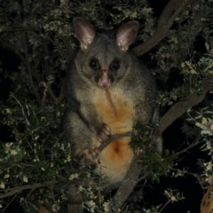 Trichosurus vulpecula (Common Brushtail Possum) at Guerilla Bay, NSW - 1 Aug 2020 by jbromilow50