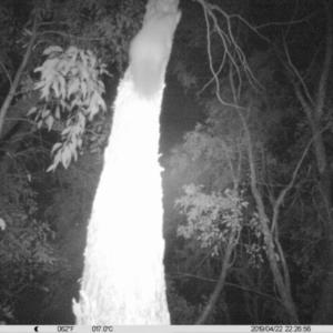 Petaurus norfolcensis at Albury - 22 Apr 2019