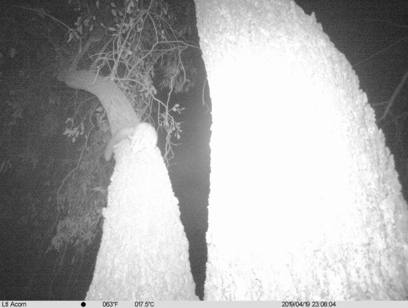 Petaurus norfolcensis at Albury - 19 Apr 2019