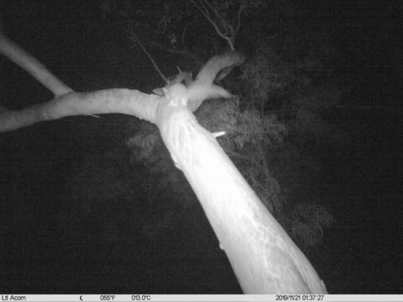 Petaurus norfolcensis at Albury - 21 Nov 2019
