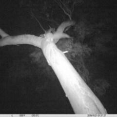 Petaurus norfolcensis (Squirrel Glider) at Albury - 20 Nov 2019 by DMeco