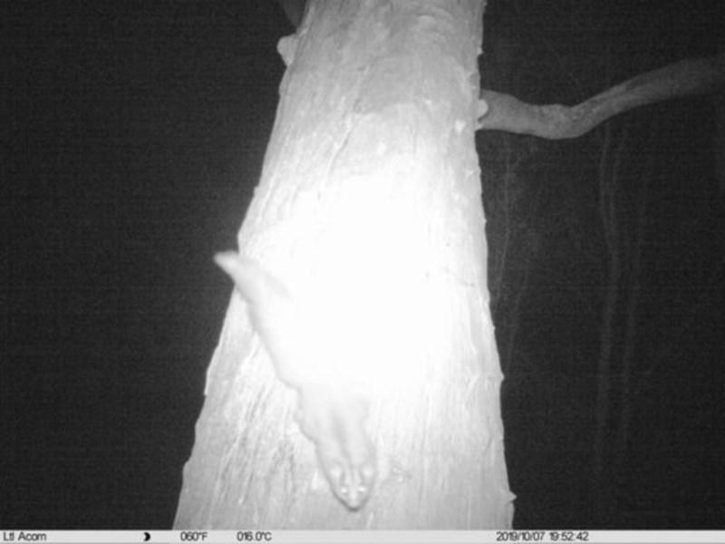 Petaurus norfolcensis at Albury - 7 Oct 2019