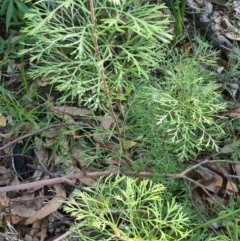 Isopogon anemonifolius (Common Drumsticks) at Ulladulla Wildflower Reserve - 5 Aug 2020 by gem.ingpen@gmail.com