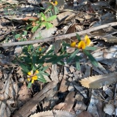 Pultenaea linophylla (Halo bush-pea) at Ulladulla Wildflower Reserve - 5 Aug 2020 by Stewart