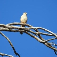 Falco cenchroides (Nankeen Kestrel) at West Wodonga, VIC - 21 Oct 2019 by Michelleco
