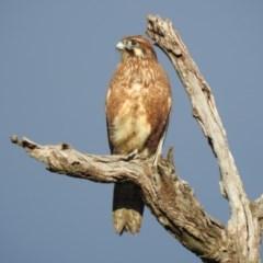 Falco berigora (Brown Falcon) at - 15 Jul 2019 by Michelleco