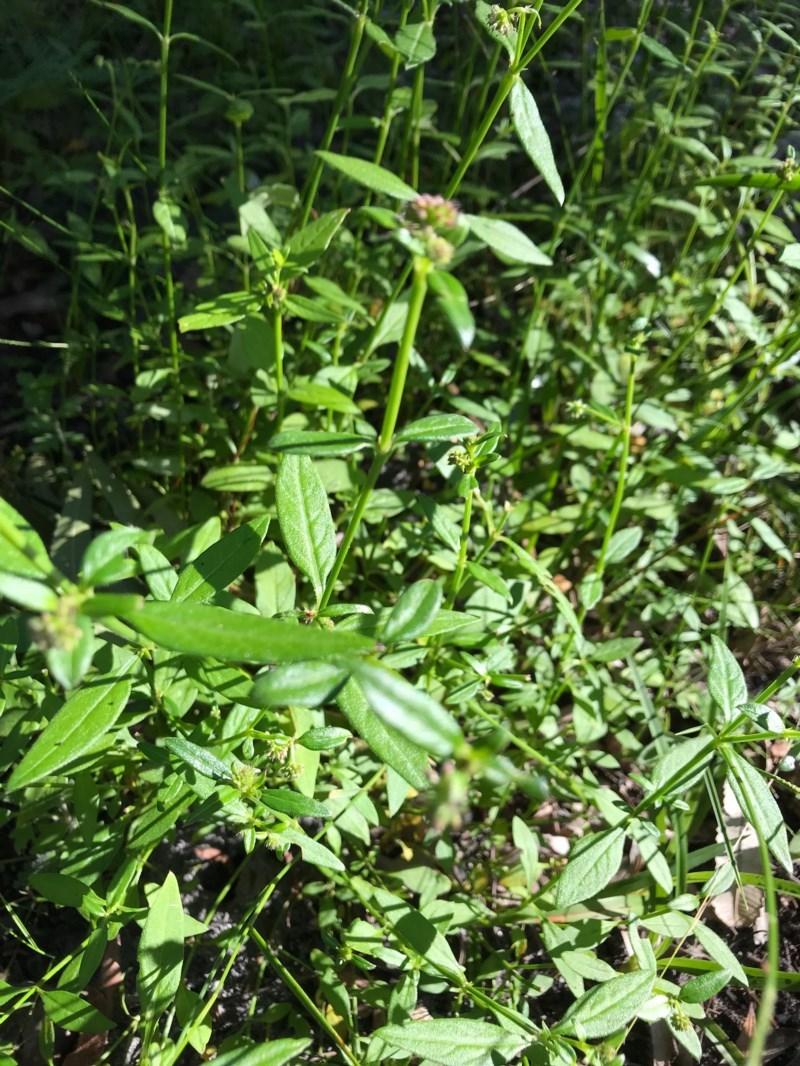 Opercularia aspera at Ulladulla Wildflower Reserve - 5 Aug 2020