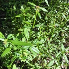 Opercularia aspera (Coarse Stinkweed) at Ulladulla Wildflower Reserve - 5 Aug 2020 by SueHob