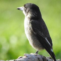 Cracticus torquatus (Grey Butcherbird) at West Wodonga, VIC - 10 May 2020 by Michelleco