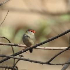 Neochmia temporalis (Red-browed Finch) at Wodonga - 8 Mar 2019 by Michelleco