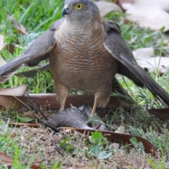 Accipiter cirrocephalus (Collared Sparrowhawk) at West Wodonga, VIC - 3 Dec 2019 by Michelleco