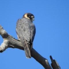 Falco longipennis (Australian Hobby) at Indigo Valley, VIC - 27 Jun 2020 by Michelleco