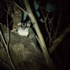 Petaurus norfolcensis (Squirrel Glider) at West Wodonga, VIC - 2 Dec 2017 by Michelleco