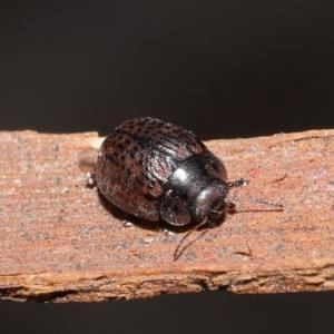 Trachymela sp. (genus) at ANBG - 4 Aug 2020