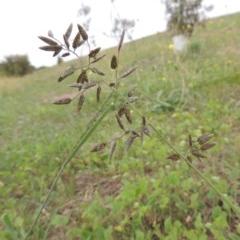 Eragrostis cilianensis (Stinkgrass) at Coombs Ponds - 2 Mar 2020 by michaelb