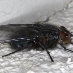 Calliphora vicina at Ainslie, ACT - 6 Aug 2020
