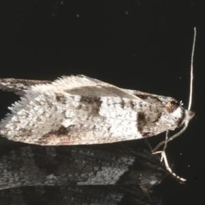 Lepidoscia heliochares at Ainslie, ACT - 5 Aug 2020
