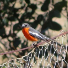Petroica phoenicea (Flame Robin) at Tennent, ACT - 5 Aug 2020 by Christine