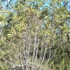 Hakea laevipes subsp. laevipes at Wogamia Nature Reserve - 6 Aug 2020 by plants
