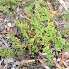 Cheilanthes sieberi subsp. sieberi (Rock Fern, Mulga Fern) at Bamarang Nature Reserve - 6 Aug 2020 by plants