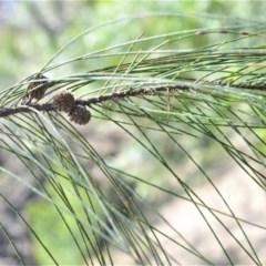 Casuarina cunninghamiana subsp. cunninghamiana (River Oak) at Bamarang, NSW - 6 Aug 2020 by plants
