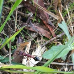 Myrmecia sp. (genus) (Bull Ant) at - 3 Apr 2017 by Michelleco