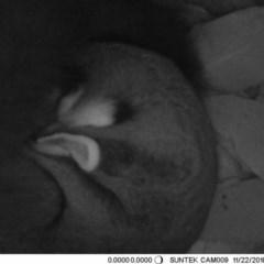 Petaurus norfolcensis (Squirrel Glider) at Thurgoona, NSW - 22 Nov 2018 by Alburyconservationcompany
