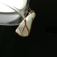 Thalaina clara (Clara's Satin Moth) at West Wodonga, VIC - 6 May 2017 by Michelleco
