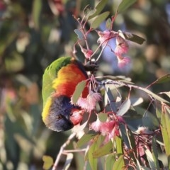 Trichoglossus moluccanus (Rainbow Lorikeet) at Higgins, ACT - 6 Aug 2020 by Alison Milton