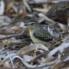 Pardalotus punctatus (Spotted Pardalote) at ANBG - 6 Aug 2020 by AlisonMilton