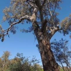 Eucalyptus camaldulensis subsp. camaldulensis (River Red Gum) at Albury - 15 Dec 2013 by Alburyconservationcompany