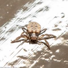 Cymbacha ocellata (Facemask crab spider) at ANBG - 17 Jul 2020 by Roger