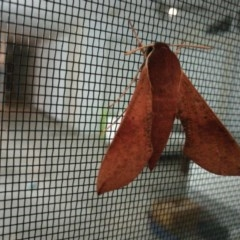 Hippotion scrofa (Coprosma Hawk Moth) at West Wodonga, VIC - 30 Aug 2018 by Michelleco