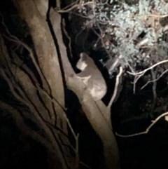 Phascolarctos cinereus (Koala) at West Wodonga, VIC - 4 Apr 2019 by Michelleco
