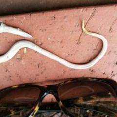 Lialis burtonis (Burton's Snake-lizard) at West Wodonga, VIC - 31 Jan 2020 by Michelleco