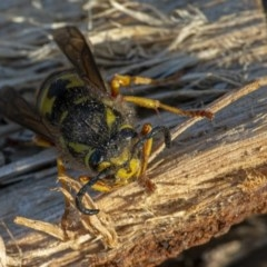 Vespula germanica (European wasp) at Googong, NSW - 5 Aug 2020 by WHall