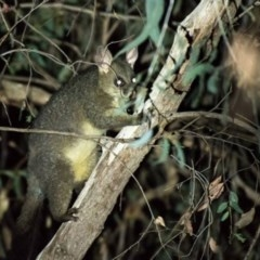 Trichosurus vulpecula (Common Brushtail Possum) at Wodonga - 1 Mar 2019 by Michelleco