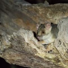 Pseudocheirus peregrinus (Common Ringtail Possum) at Wodonga - 1 Mar 2019 by Michelleco