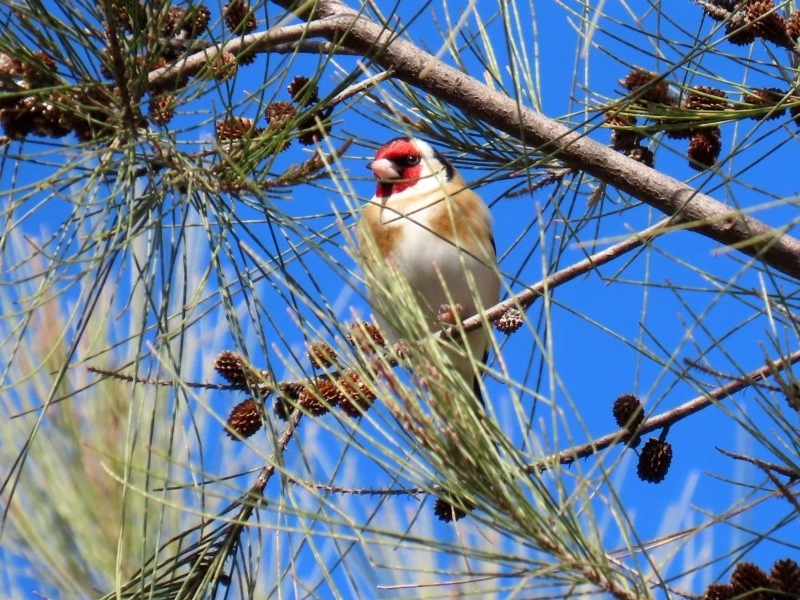 Carduelis carduelis at Jerrabomberra Wetlands - 6 Aug 2020