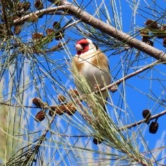 Carduelis carduelis (European Goldfinch) at Jerrabomberra Wetlands - 6 Aug 2020 by RodDeb