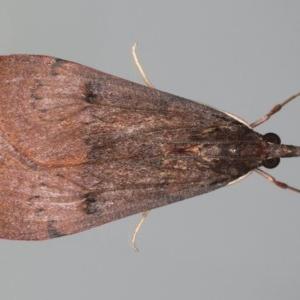 Uresiphita ornithopteralis at Ainslie, ACT - 28 Jul 2020