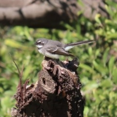 Rhipidura albiscapa (Grey Fantail) at Jerrabomberra Wetlands - 6 Aug 2020 by RodDeb