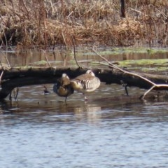 Malacorhynchus membranaceus (Pink-eared Duck) at Fyshwick, ACT - 6 Aug 2020 by RodDeb