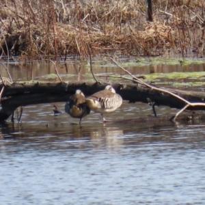 Malacorhynchus membranaceus at Jerrabomberra Wetlands - 6 Aug 2020