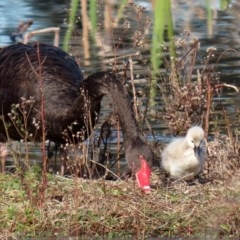 Cygnus atratus (Black Swan) at Jerrabomberra Wetlands - 6 Aug 2020 by RodDeb