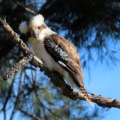 Dacelo novaeguineae (Laughing Kookaburra) at Jerrabomberra Wetlands - 6 Aug 2020 by RodDeb