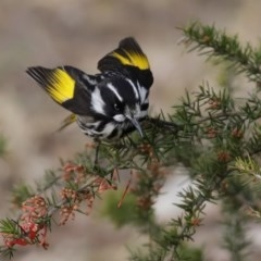 Phylidonyris novaehollandiae (New Holland Honeyeater) at Jerrabomberra Wetlands - 6 Aug 2020 by RodDeb