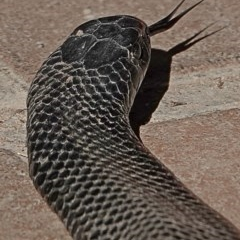 Pseudechis porphyriacus (Red-bellied Black Snake) at Brogo, NSW - 2 Aug 2020 by MaxCampbell