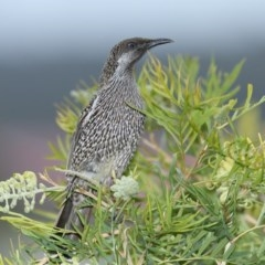 Anthochaera chrysoptera (Little Wattlebird) at Merimbula, NSW - 7 Aug 2020 by Leo